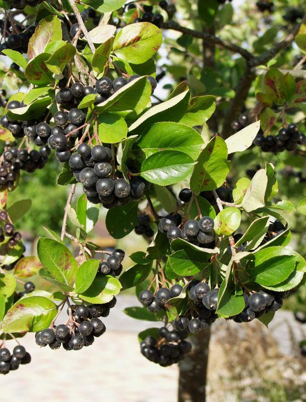 limingan viherkeskus tuotteet hedelm puut ja muut. Black Bedroom Furniture Sets. Home Design Ideas